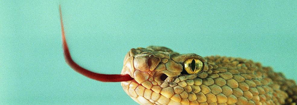 Serpiente con la lengüita fuera